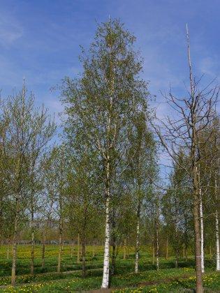 Betula-pendula-zwitsers-glorie-50-60-ai-2