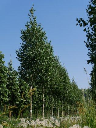 Betula-utilis-doorenbos