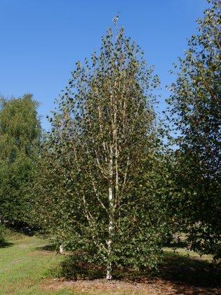 Betula Utilis Doorenbos 3
