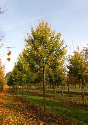 Acer-campestre-elsrijk
