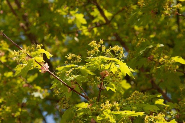 Acer Campestre Elsrijk 1