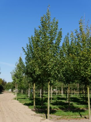 Acer Campestre Elsrijk 2