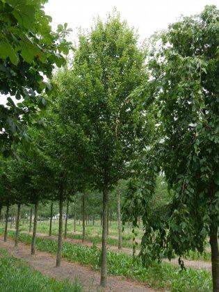 Carpinus-betulus-a-beeckman-35-40-vld