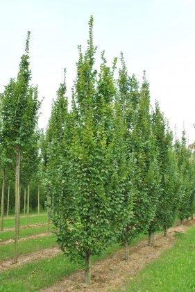 Carpinus-betulus-lucas