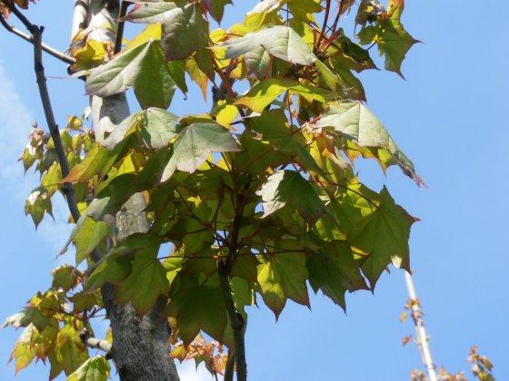 Acer Cappadocium 3