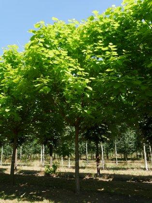 Catalpa-bignonioides-aurea-40-45bv-wal-3
