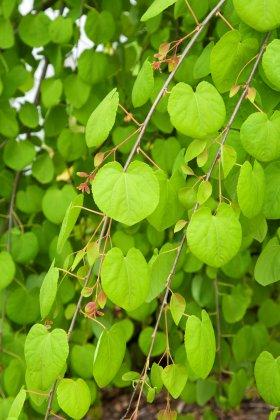 Cercidiphyllum Japonicum Pendulum-1