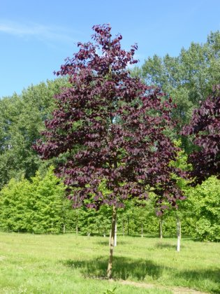 Cercis Canadensis Forest Pansy 2