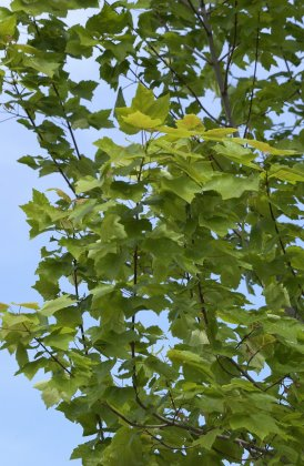 Acer Freemanii Armstrong