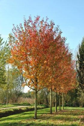 Acer-freemanii-autumn-blaze