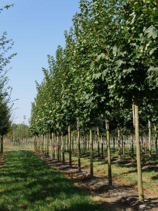 Acer-platanoides-autumn-blaze-25-30-35-dib