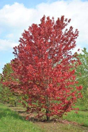 Acer Freemani Autumn Blaze