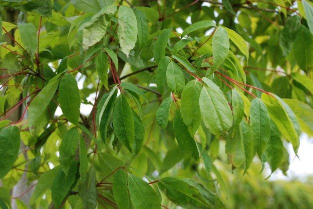 Acer Mandschuricum 5