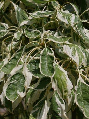 Cornus-controversa-variegata-4
