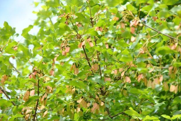 Acer Monspecullanum