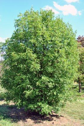 Acer Monspecullanum 1