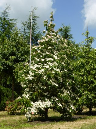 Cornus Kousa Chinensis 1