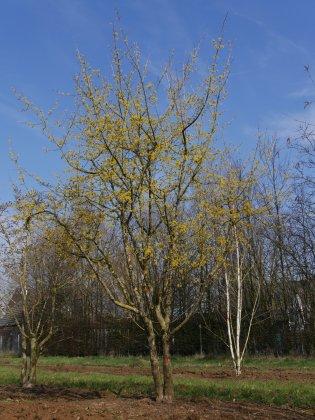 Cornus-officinalis-s-h450-500mo-k-1