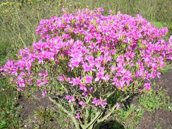 Rhododendron Canadense 1