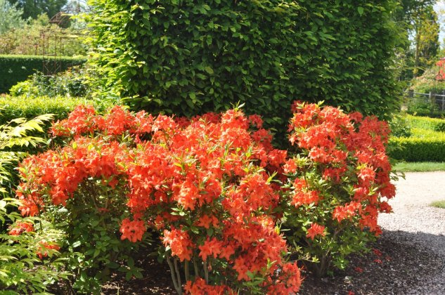 Rhododendron Barselick 2