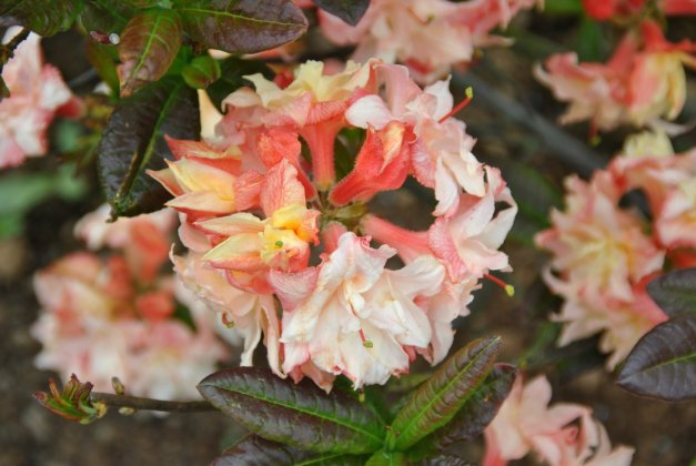 Rhododendron-ak-cannon-s-double