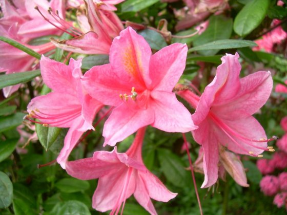 Rhododendron-av-jolie-madame