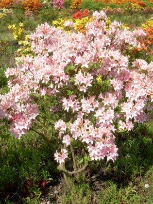 Rhododendron Jolie Madame 9