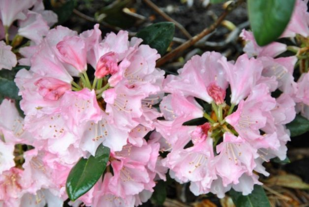 Rhododendron Anilin 3