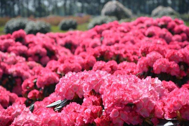 Rhododendron Fantastica 2