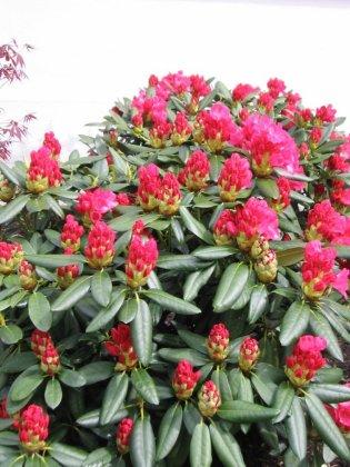 Rhododendron Fantastica 4