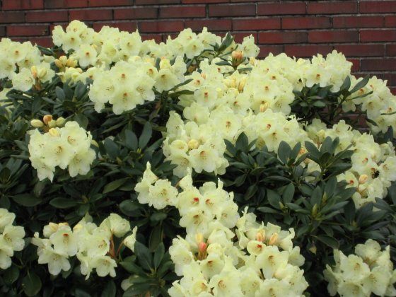 Rhododendron Flava 5