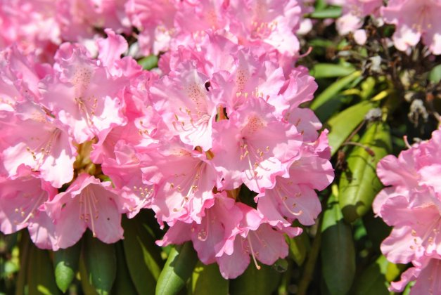 Rhododendron-y-kalinka