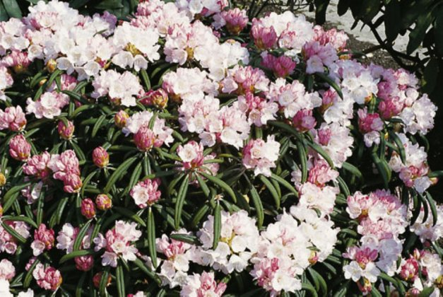 Rhododendron-y-makiyak