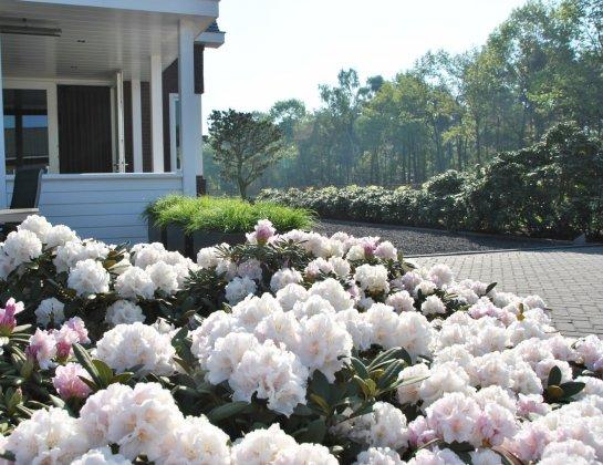 Rhododendron Schneekrone