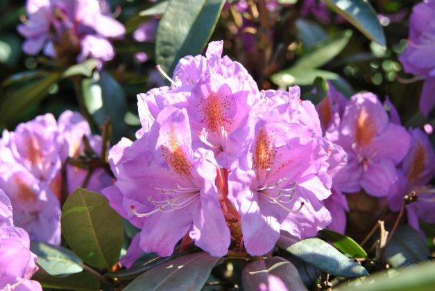 Rhododendron-blutopia