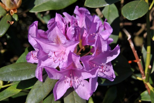 Rhododendron-catawbiense-boursault