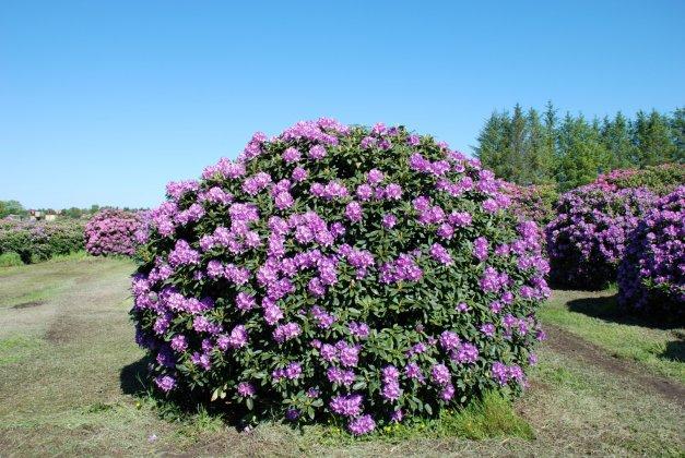 Rhododendron Catawbiense Boursault 1