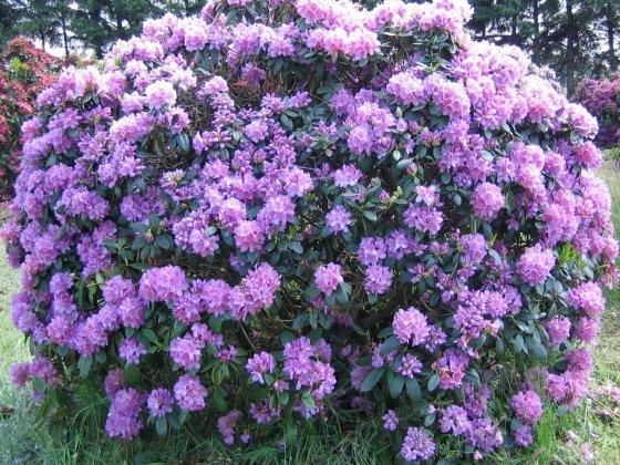 Rhododendron Catawbiense Grandiflorum 1