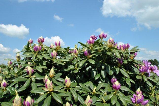 Rhododendron Catawbiense Grandiflorum 4