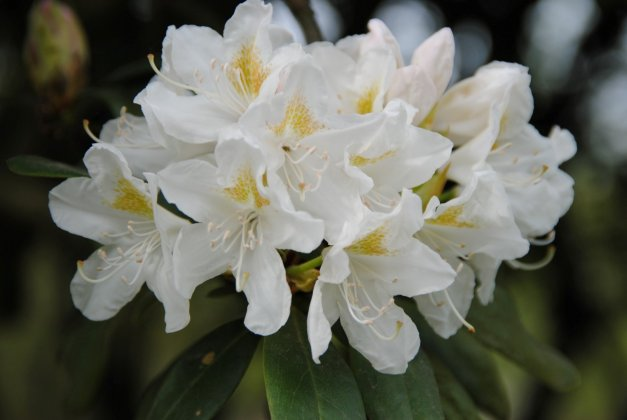 Rhododendron-cunningham-s-white
