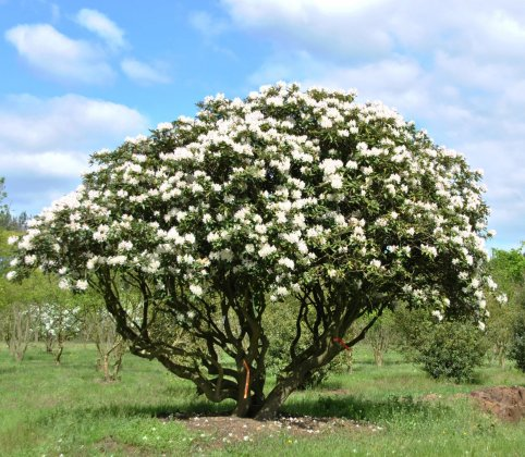 Rhododendron Cunninghams White 1