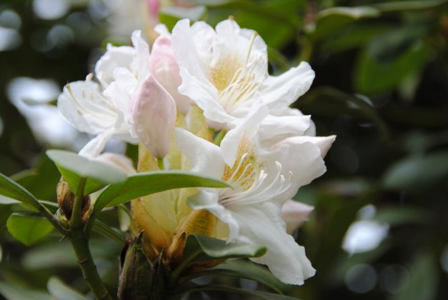 Rhododendron Cunninghams White 11