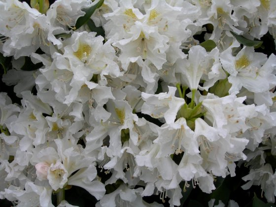 Rhododendron Cunninghams White 8