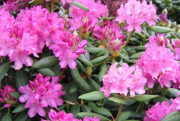 Rhododendron-english-roseum