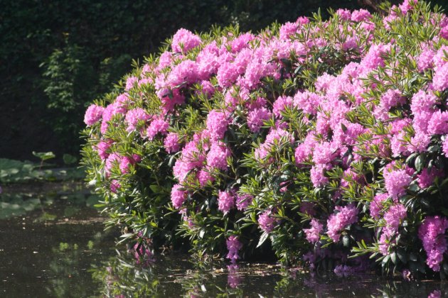 Rhododendron English Roseum 11