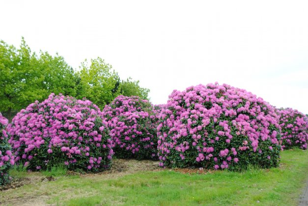 Rhododendron English Roseum 3
