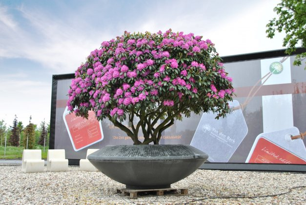 Rhododendron English Roseum 4