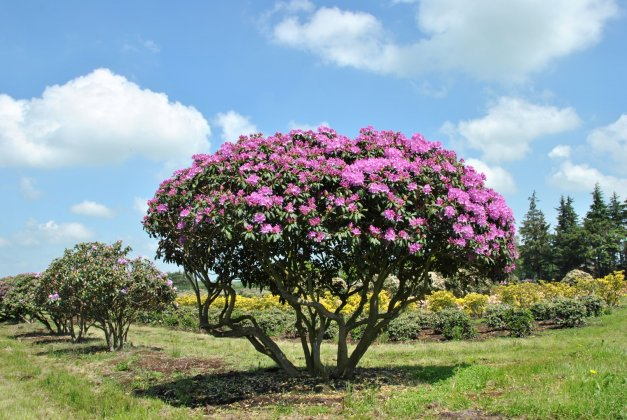 Rhododendron English Roseum 5