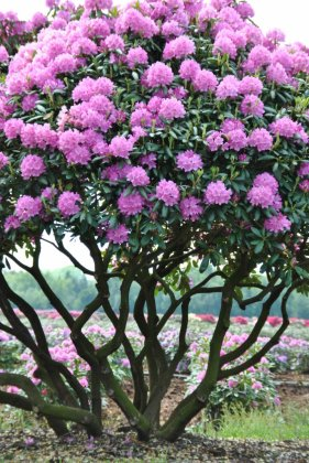 Rhododendron English Roseum 7