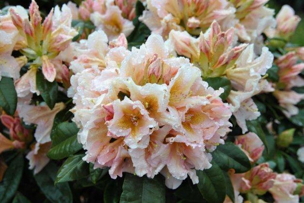 Rhododendron-gloria